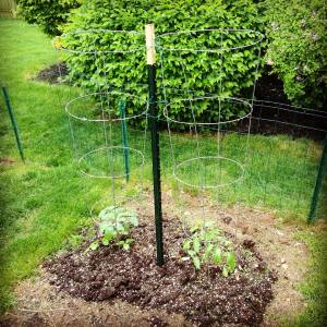 tomato_plants_with_stake